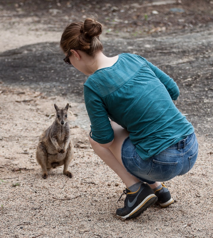 Zutrauliches Rock Wallaby