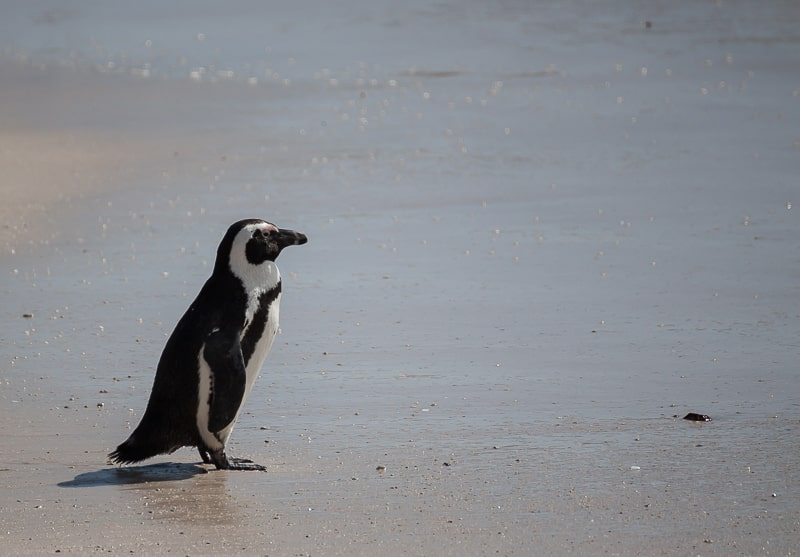 Brillenpinguin am Sandstrand